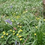 Anemone, celandine and bluebells