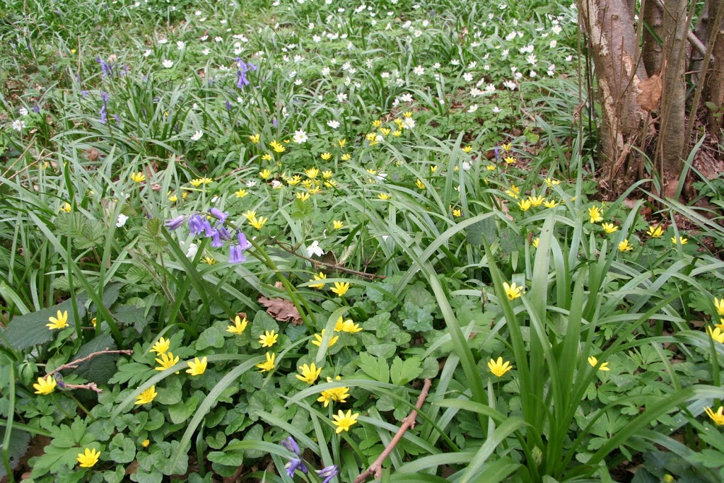 Anemone, celandine and bluebells