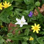Anemone, celandine and dog violet