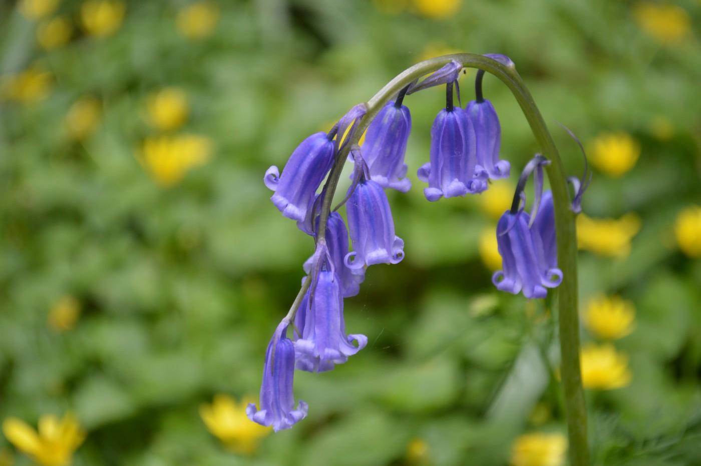Bluebell amongst celandines