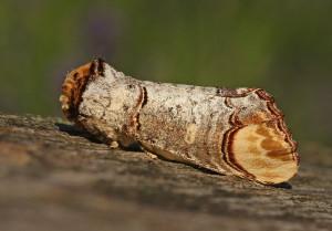 Buff-tip moth